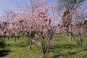 Cherry blossom VII