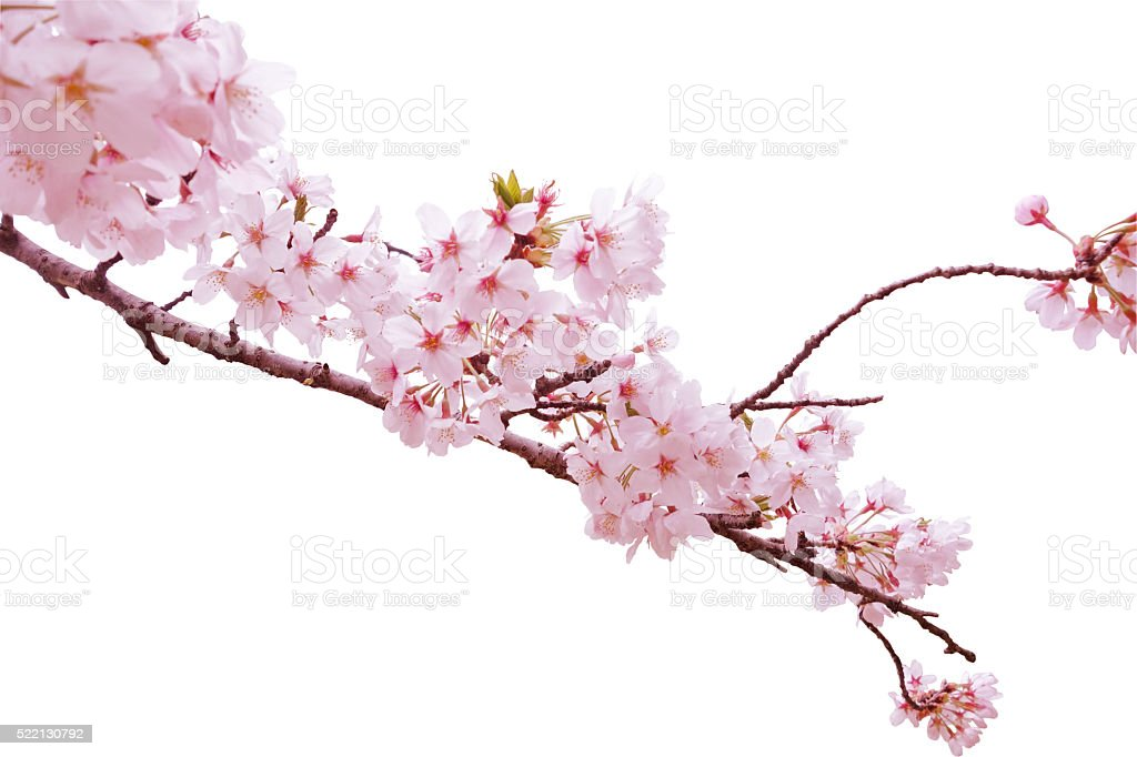Cherry blossom white back stock photo