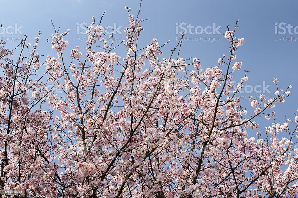 Cherry blossom with blue sky royalty-free stock photo
