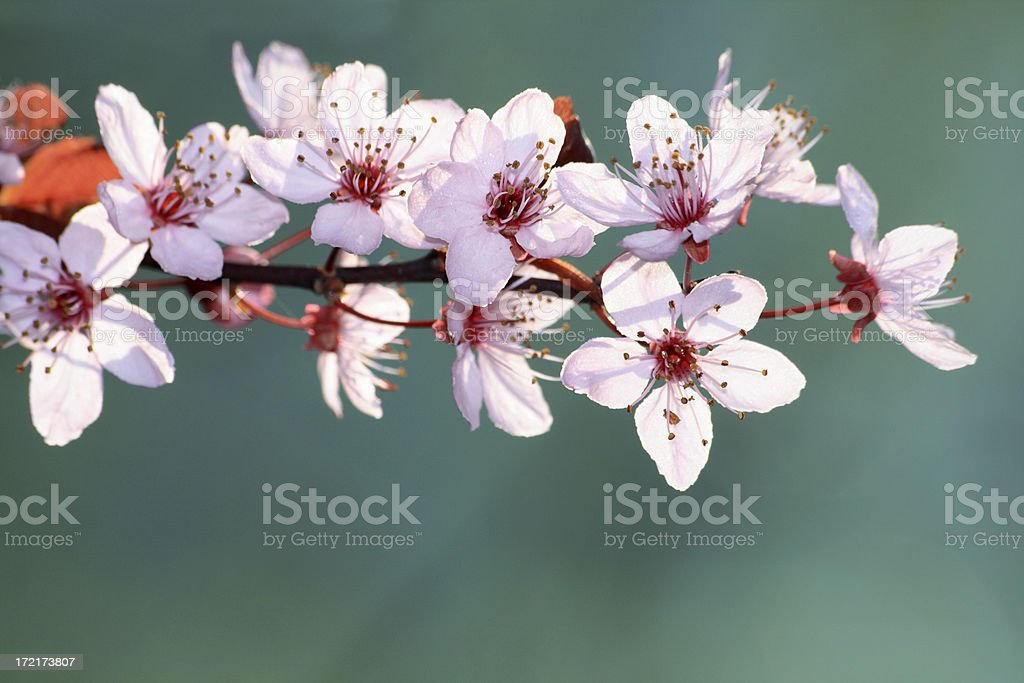 cherry blossom  with copy space royalty-free stock photo