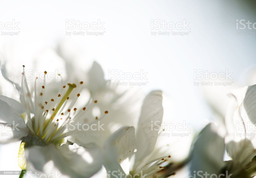 Cherry Blossom With Copy Space stock photo