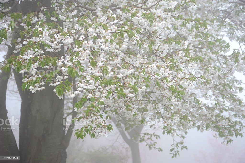 cherry blossom with fog stock photo