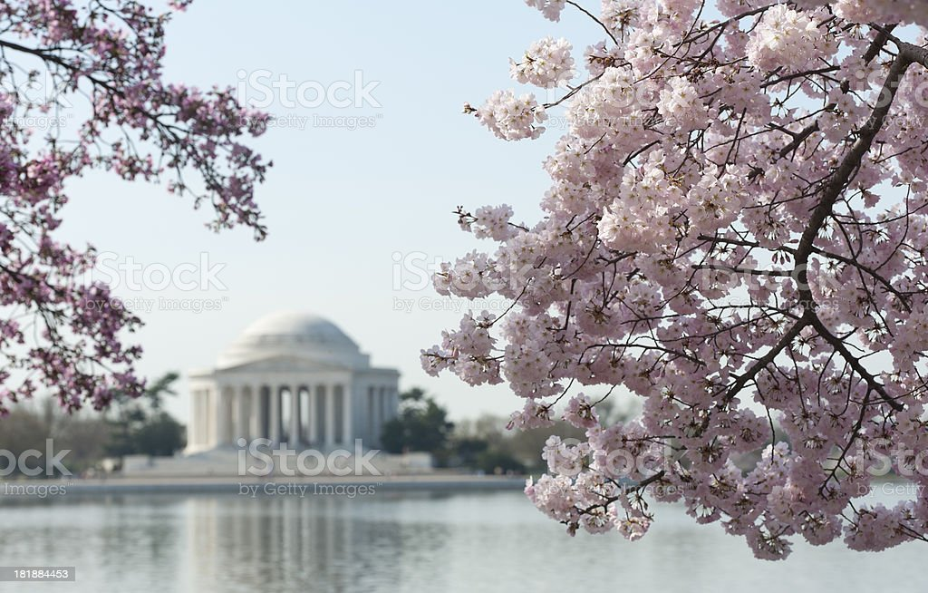 cherry blossom with jefferson memorial out of focus stock photo