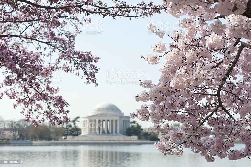 cherry blossom with jefferson memorial out of focus royalty-free stock photo