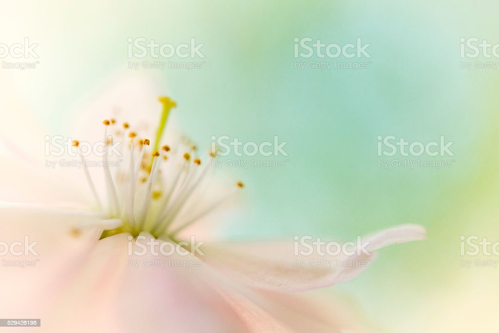 cherry blossom with pastel green background stock photo