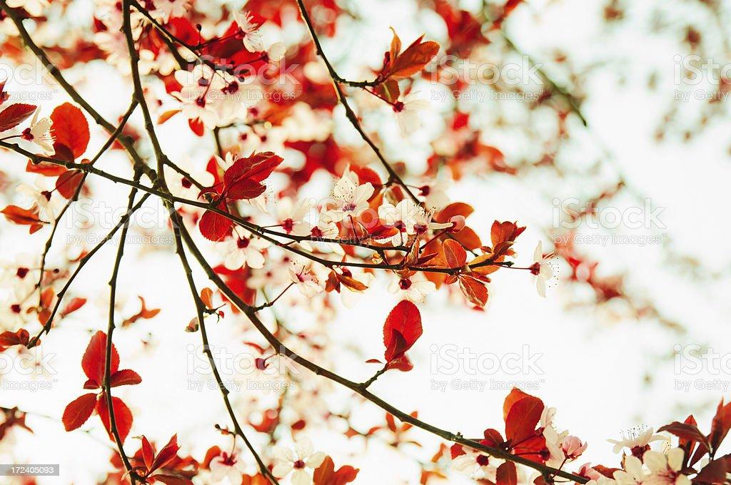 Cherry blossom XXXL royalty-free stock photo