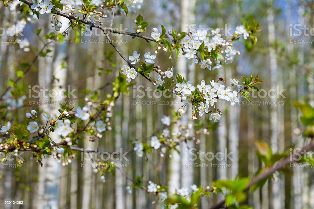 Cherry blossoming in a birch tree forest stock photo