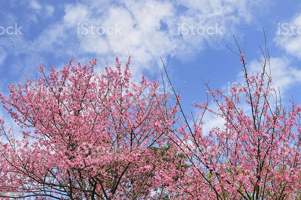 cherry blossoming royalty-free stock photo