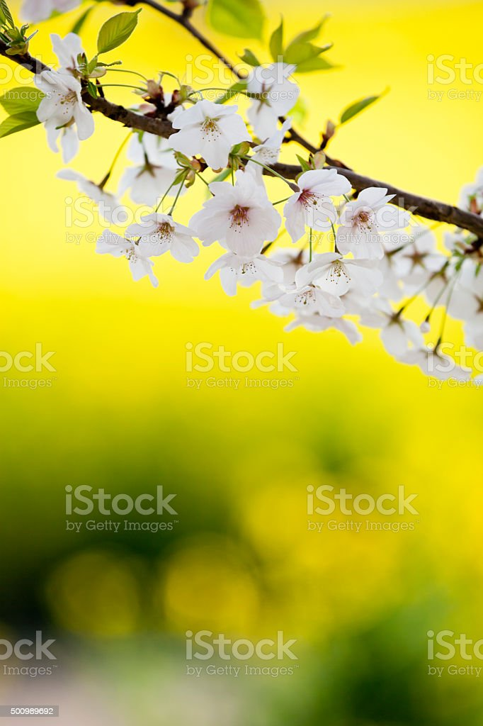 Cherry Blossoms Against Canola Flowers stock photo