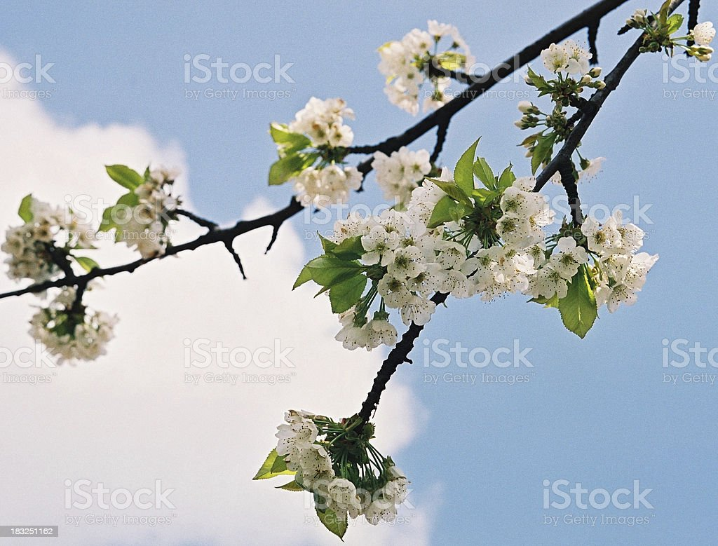 Cherry blossoms against clear blue sky royalty-free stock photo