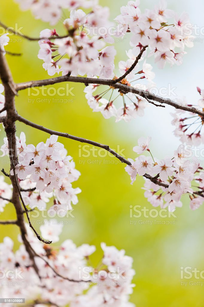 Cherry Blossoms against Green Background stock photo