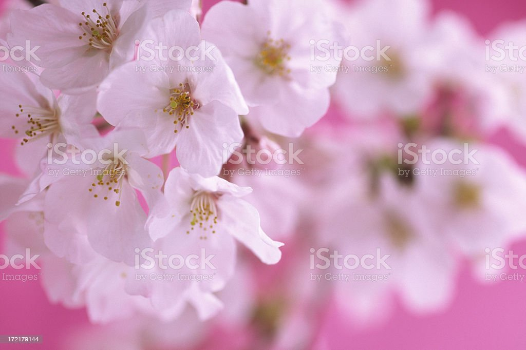 Cherry blossoms against pink background royalty-free stock photo