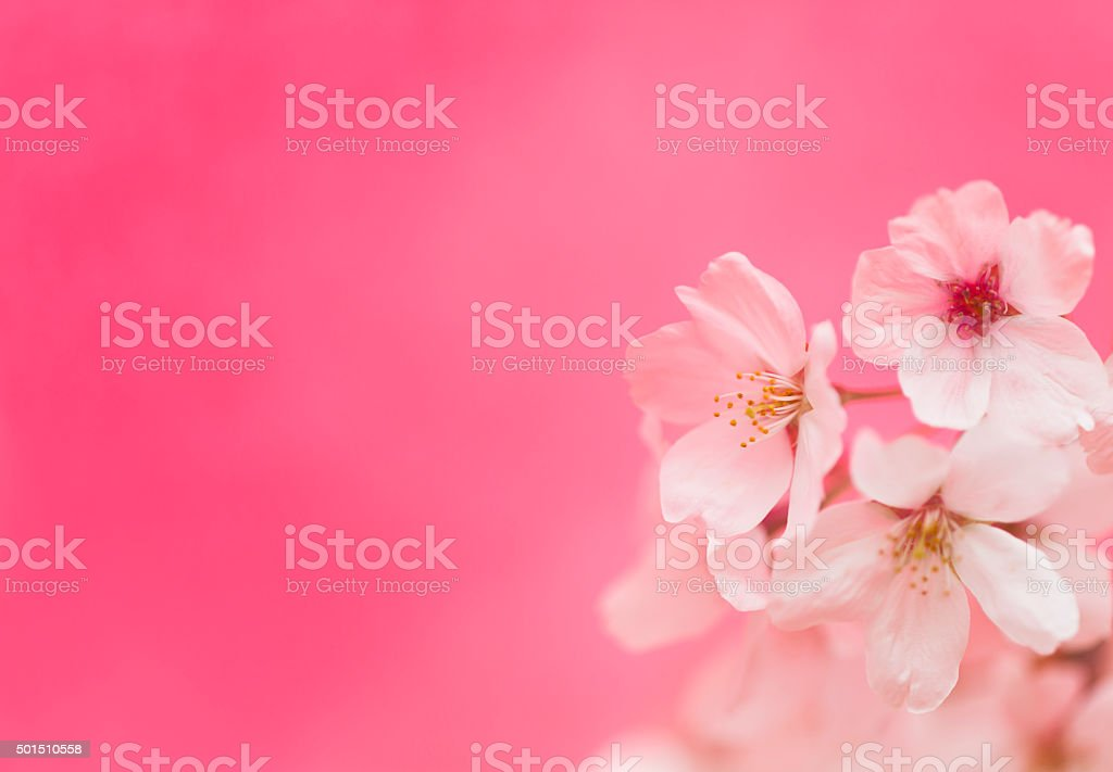 Cherry Blossoms Against Pink Background stock photo