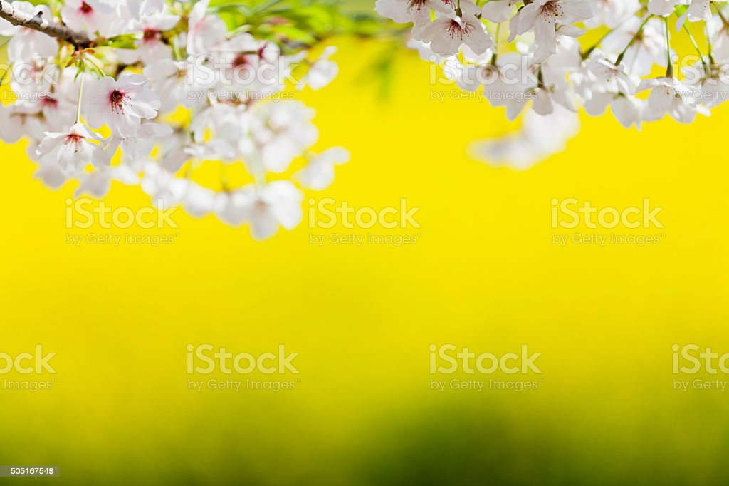 Cherry Blossoms Against Yellow Background stock photo
