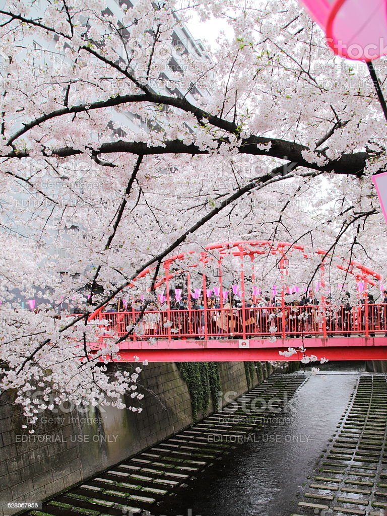 Cherry Blossoms Along the Meguro River in Tokyo Japan stock photo