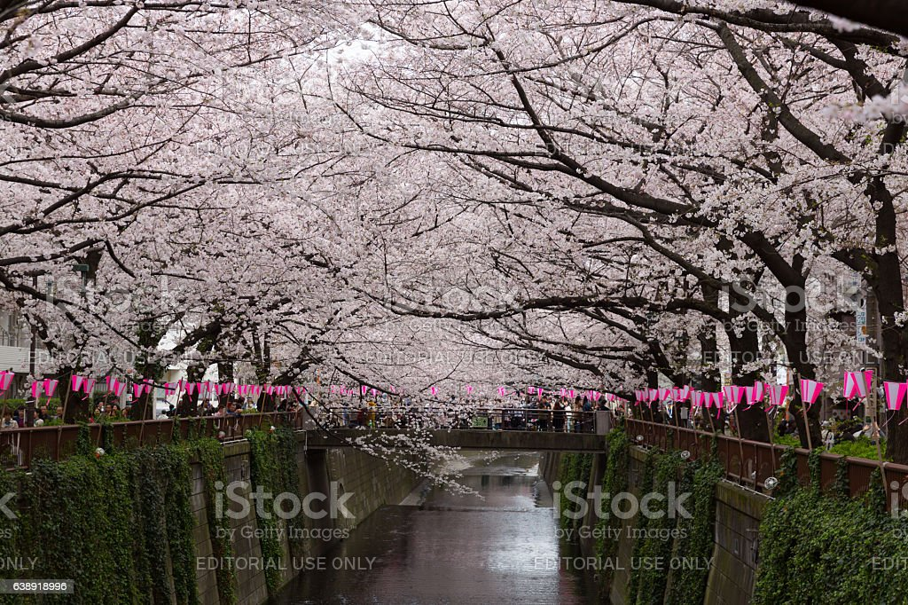 Cherry Blossoms along the Meguro River in Tokyo, Japan stock photo
