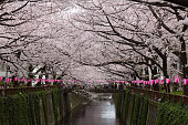 Cherry Blossoms along the Meguro River in Tokyo, Japan