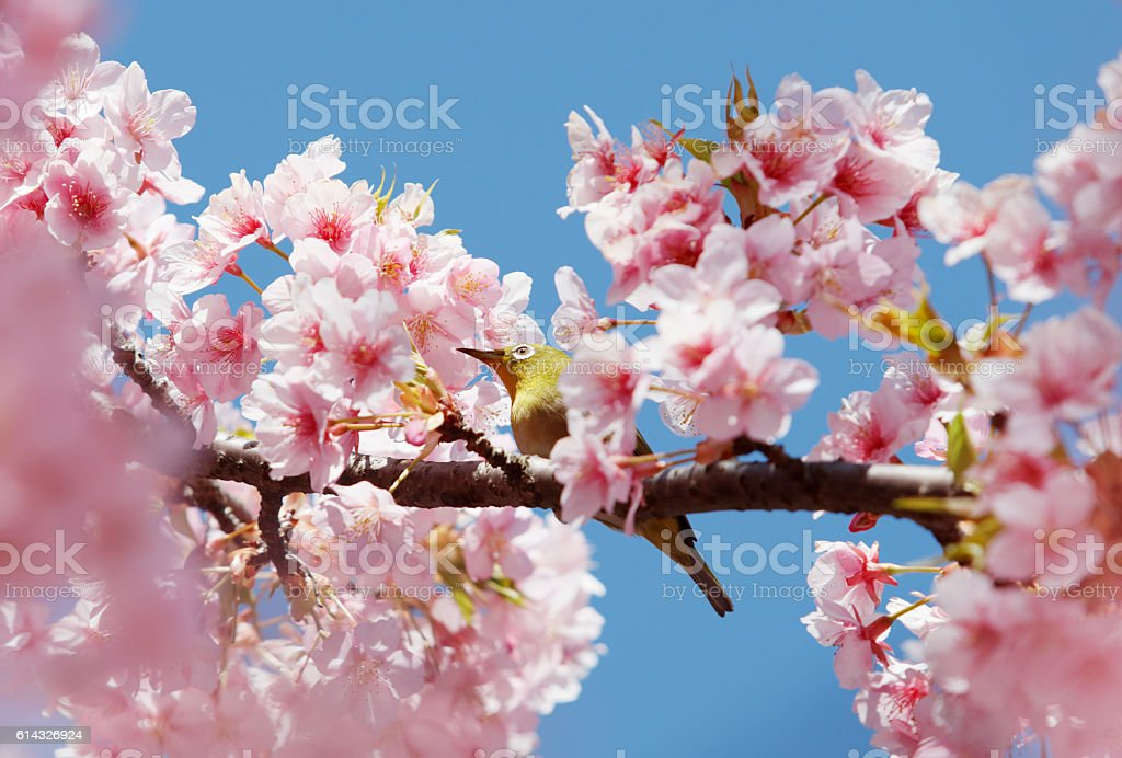 cherry blossoms and a bird called Japanese White-eye stock photo