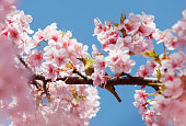 cherry blossoms and a bird called Japanese White-eye