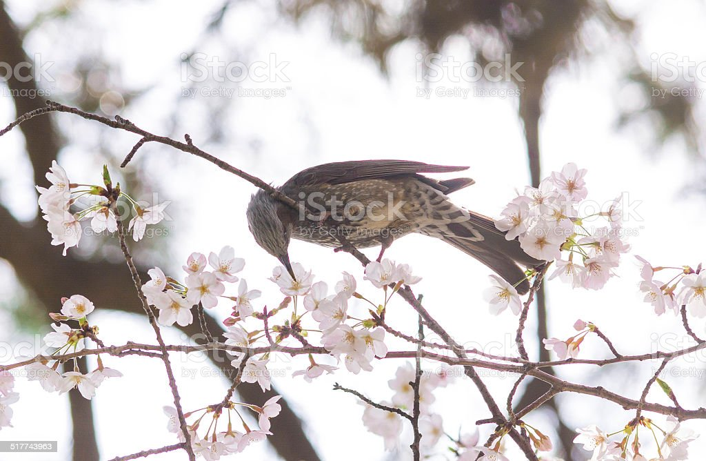 Cherry blossoms and a bird stock photo