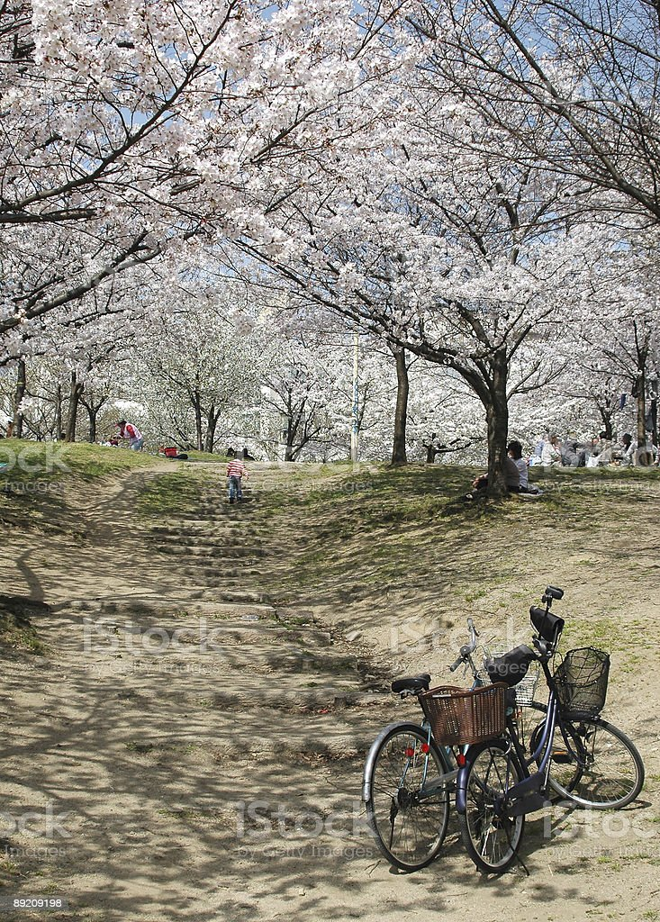 Cherry blossoms and bicycles royalty-free stock photo