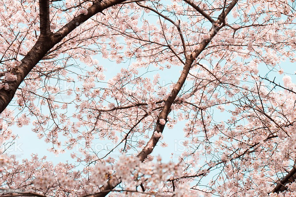 Cherry blossoms and branches stock photo