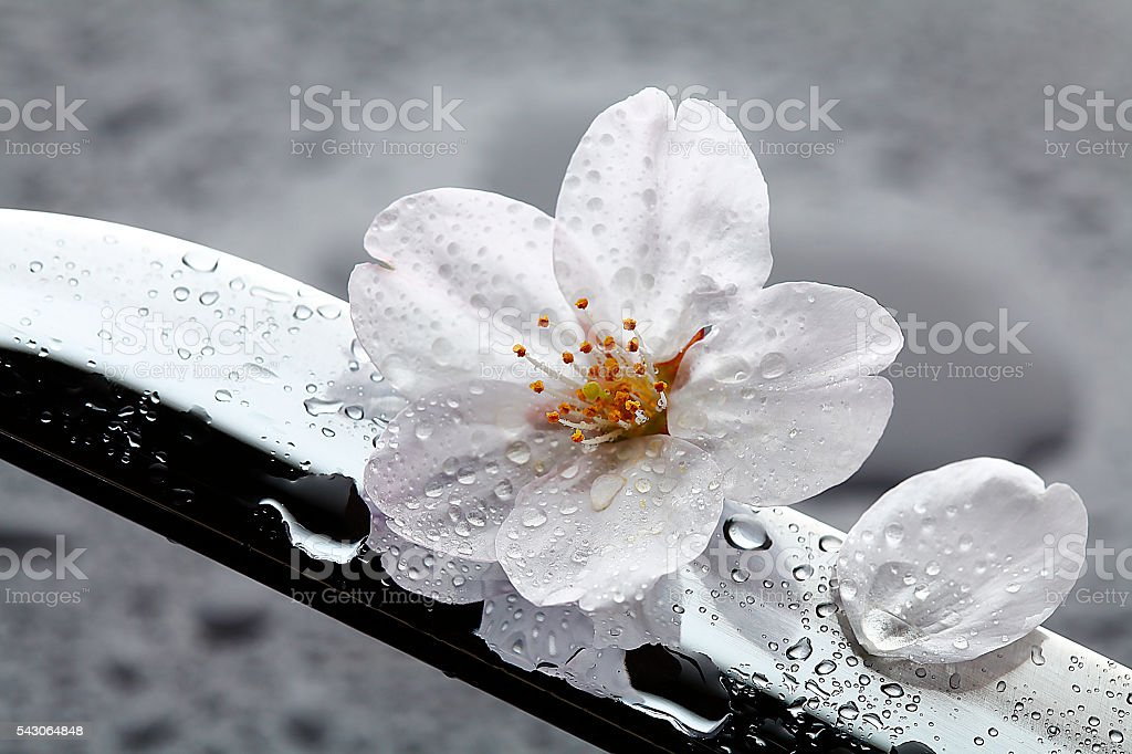 cherry blossoms and Japanese sword stock photo