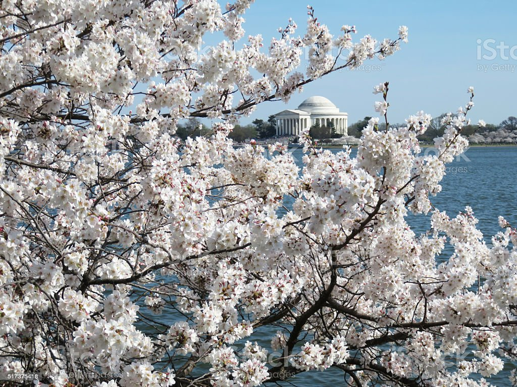 Cherry Blossoms and Jefferson Memorial stock photo