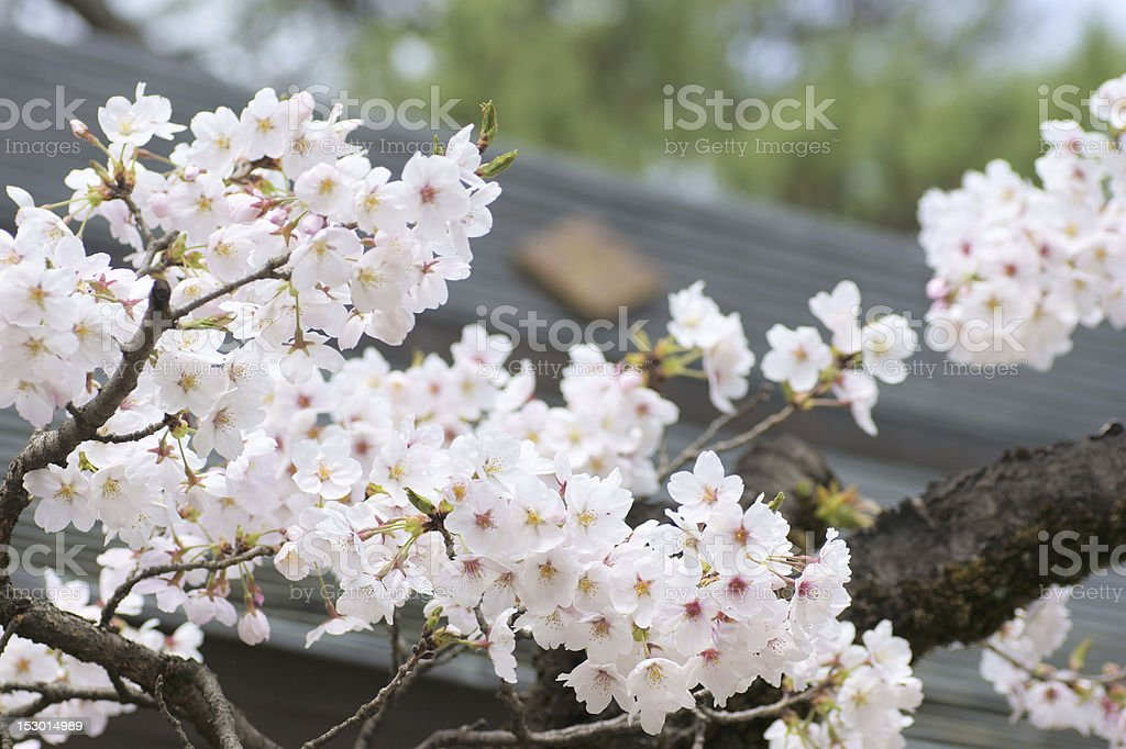 Cherry blossoms and Shinto shrine of Japan royalty-free stock photo