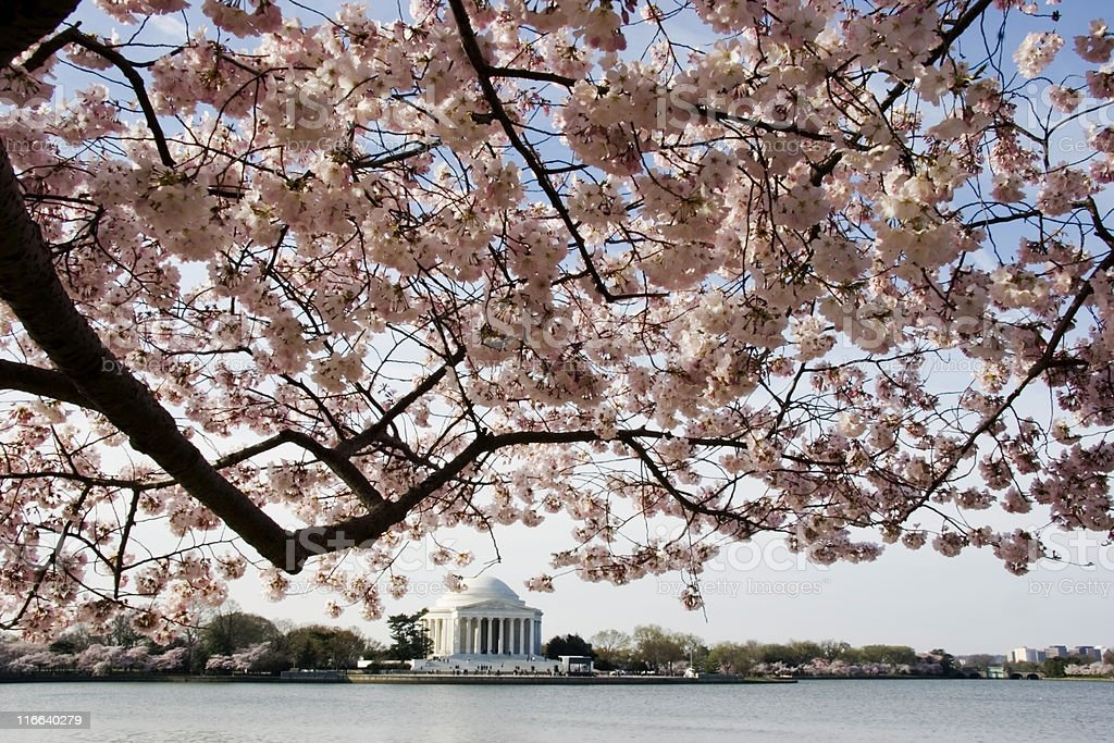 Cherry Blossoms and the Jefferson Memorial stock photo