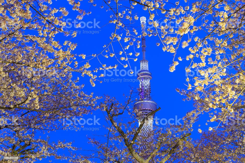 Cherry blossoms and the Tokyo Skytree in Tokyo at dusk stock photo