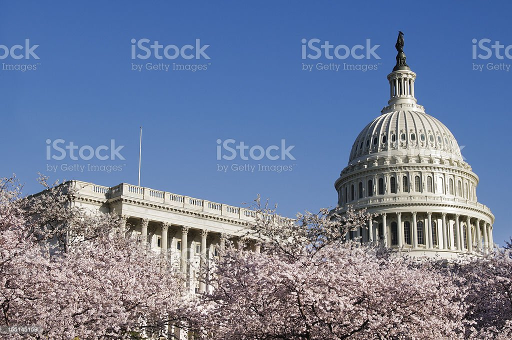 Cherry blossoms and US Capitol Building in Washington DC royalty-free stock photo