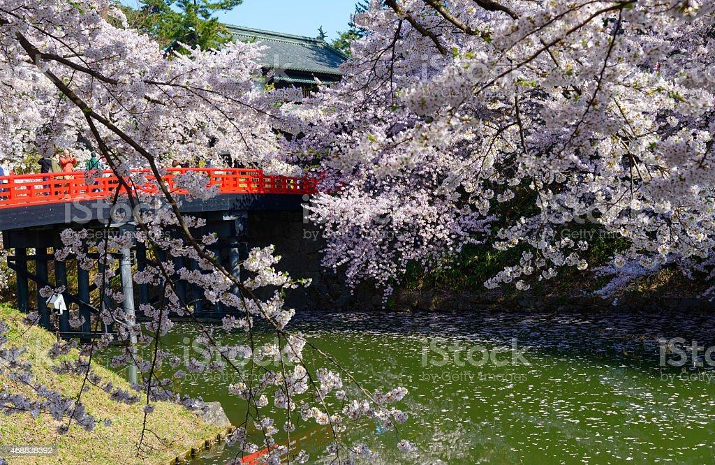Cherry blossoms at Hirosaki Park stock photo