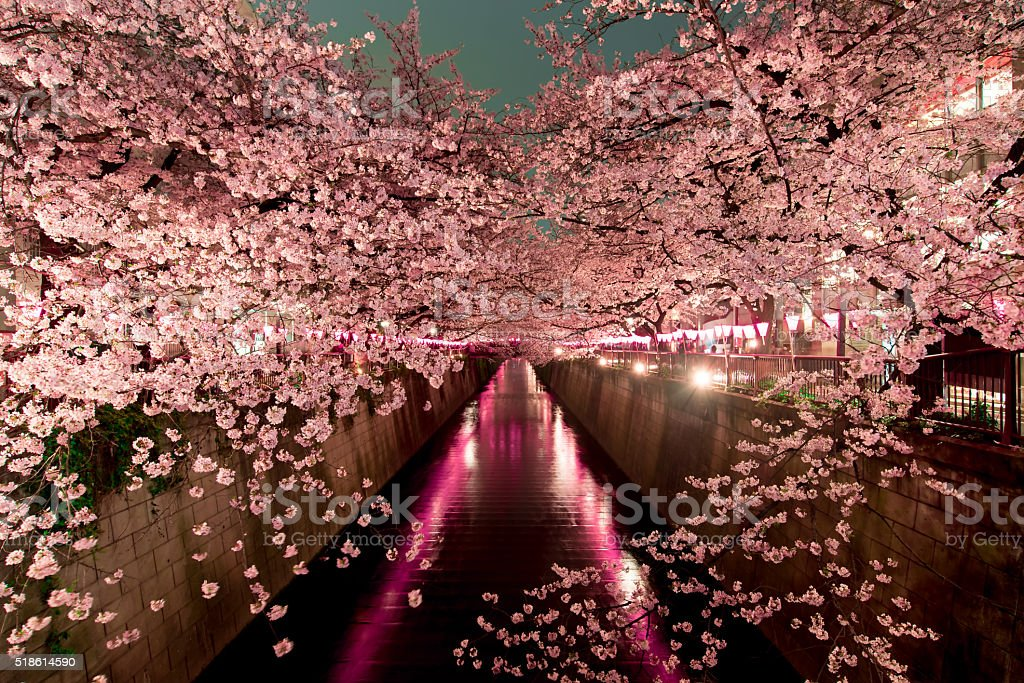 Cherry Blossoms at night in Tokyo stock photo