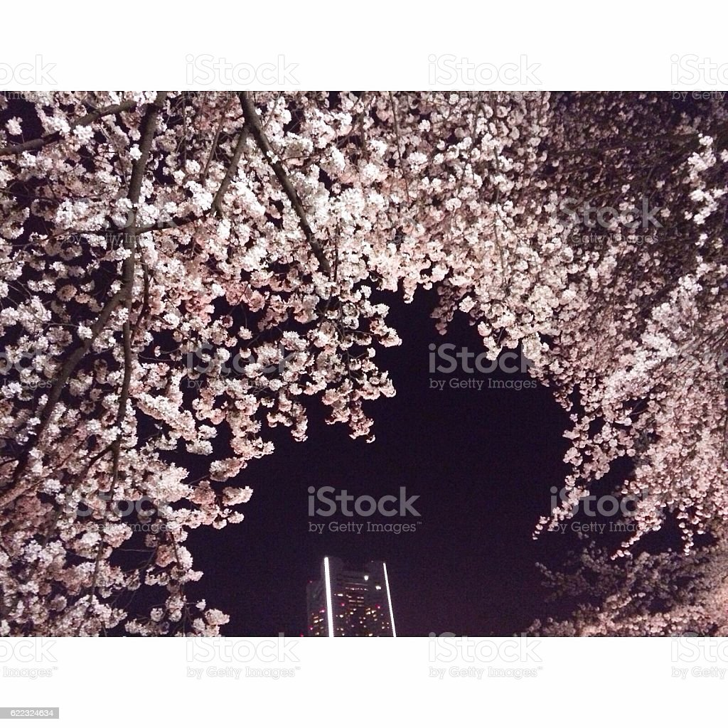 cherry blossoms at night royalty-free stock photo
