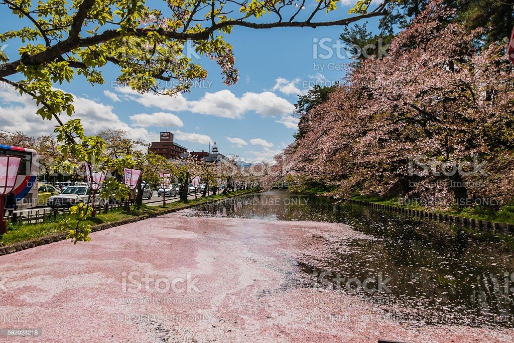 Cherry blossoms at the Hirosaki Castle Park stock photo