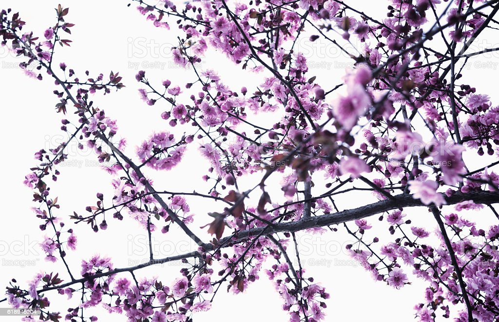Cherry blossoms blooming in springtime stock photo