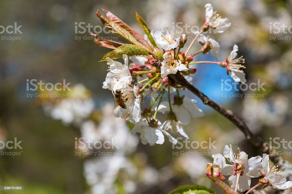Cherry blossoms branch stock photo
