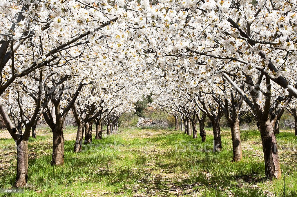 Cherry blossoms, Caderechas valley (Spain) stock photo
