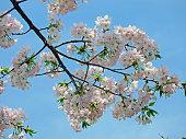 Cherry blossoms called Princess Sotoori