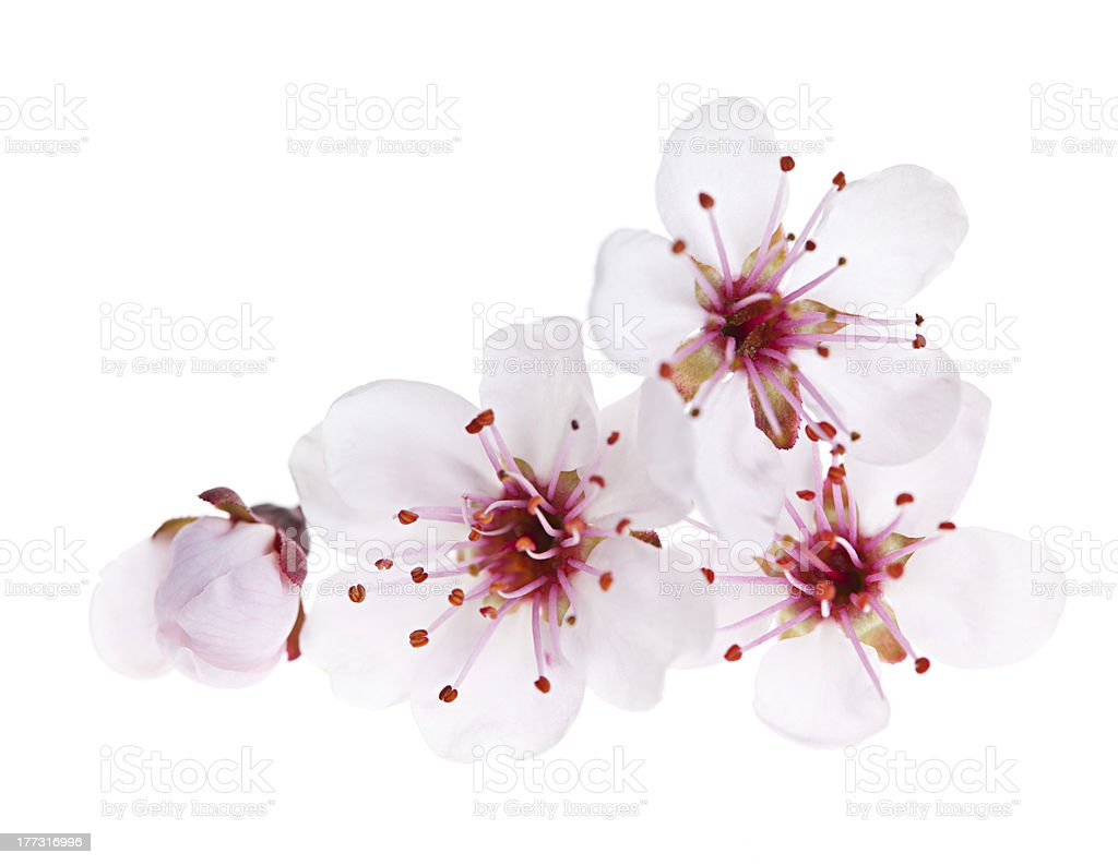 Cherry blossoms close up stock photo