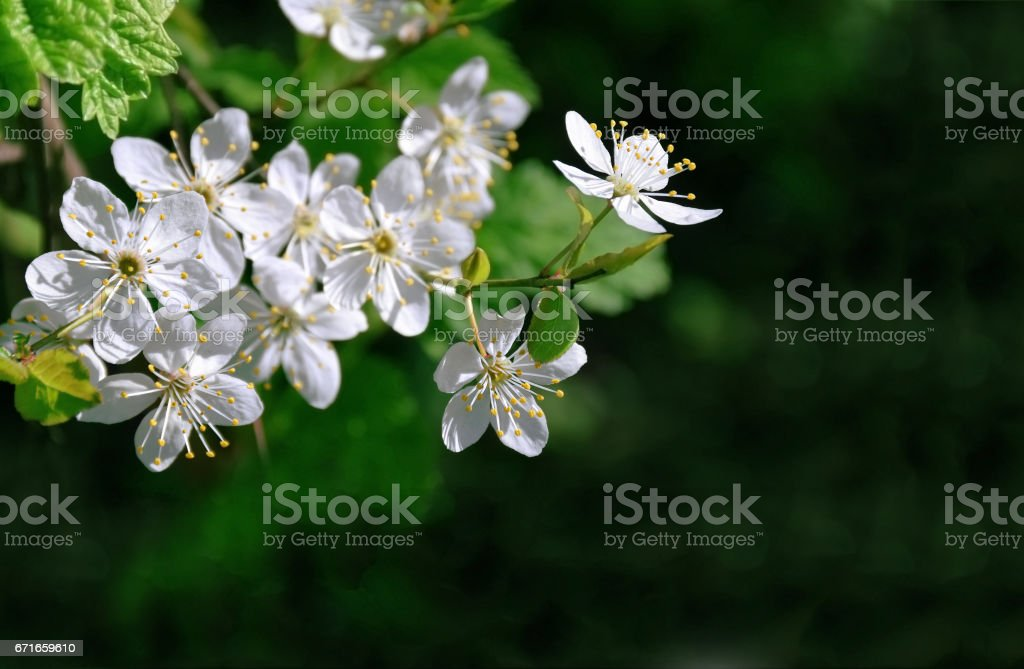 Cherry blossoms close-up. stock photo