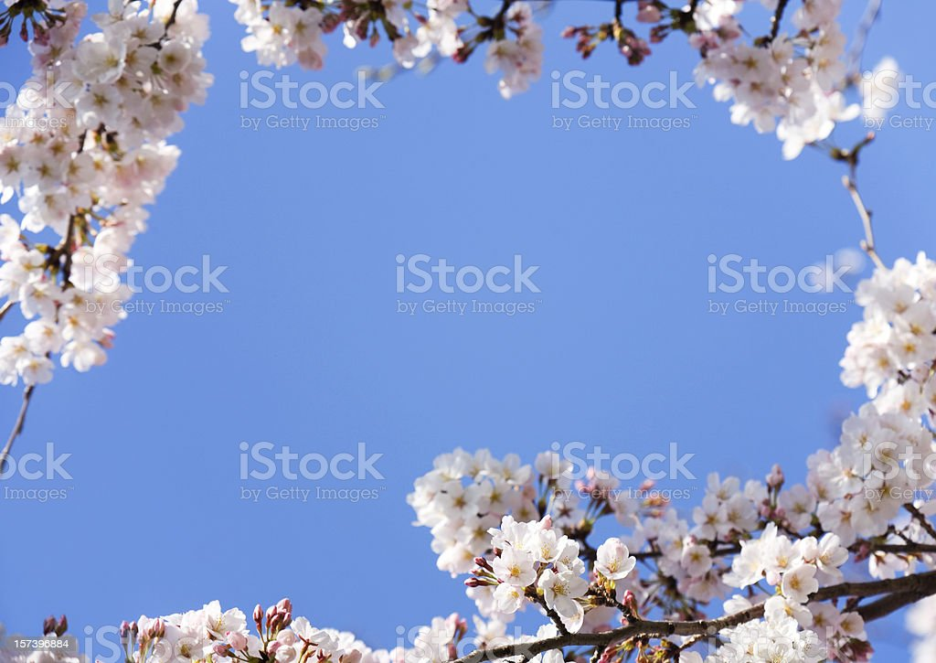 Cherry Blossoms Frame royalty-free stock photo