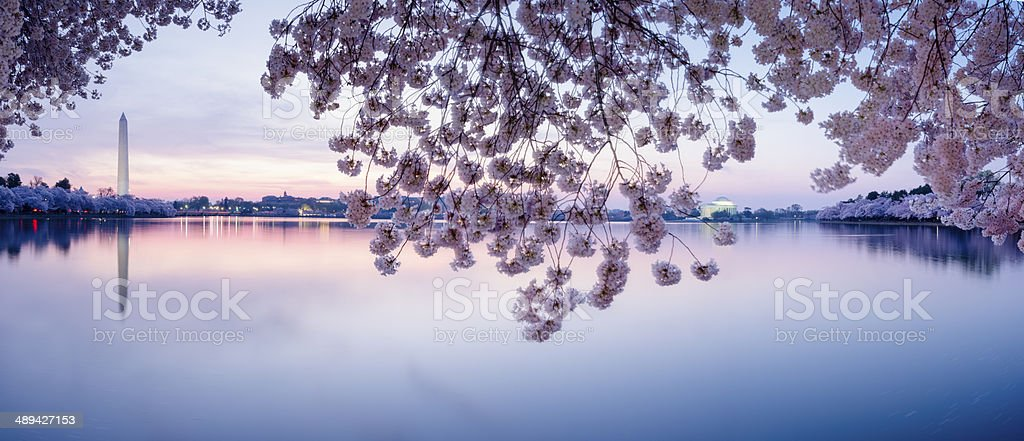 Cherry blossoms frame the Washington Monument and Jefferson Memorial -XXXL stock photo