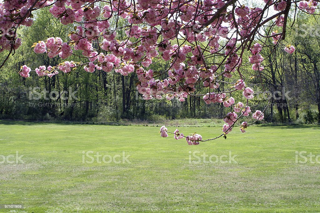 Cherry Blossoms from Beneath royalty-free stock photo