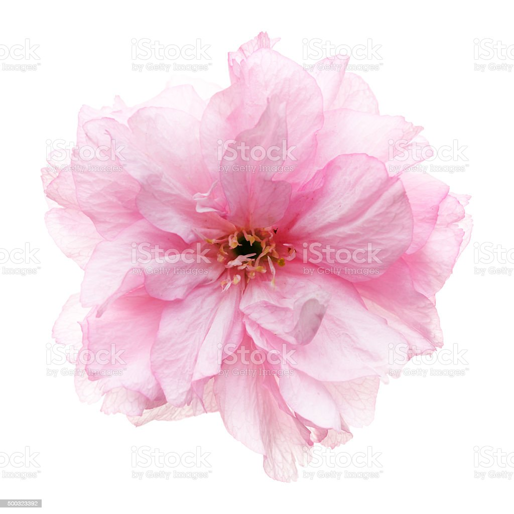 A blooming pink cherry blossoms flower head in the spring,Isolated on...
