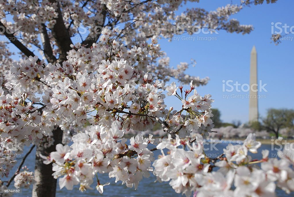 Cherry Blossoms in Washington stock photo