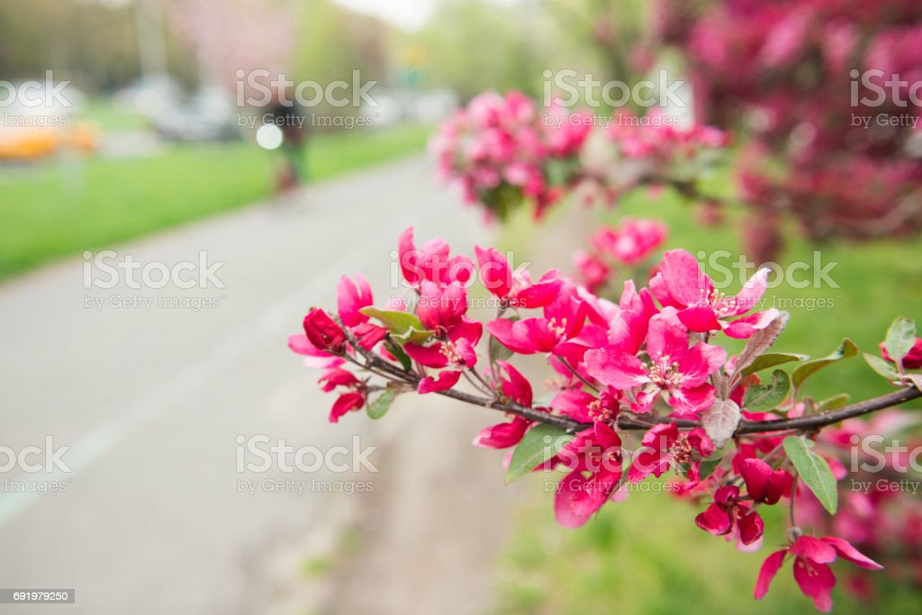 Cherry Blossoms in Bloom by Riverside Park Bike Path NYC stock photo