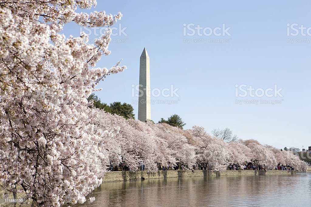 Cherry Blossoms in bloom, Washington DC royalty-free stock photo