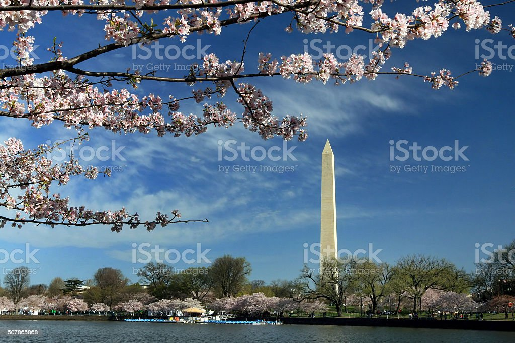 Cherry Blossoms in DC stock photo